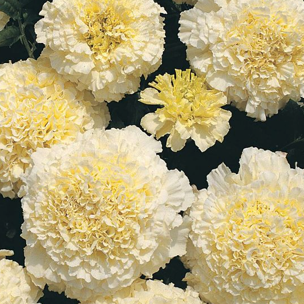 White Marigold Flower Seeds Jack Seeds