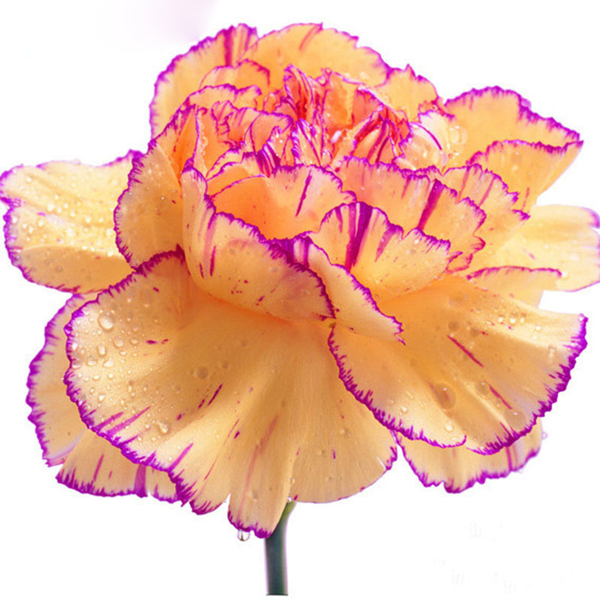 Peach Pink Carnation Flower Seeds