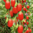 Dwarf Bush Berry Fruit Seeds