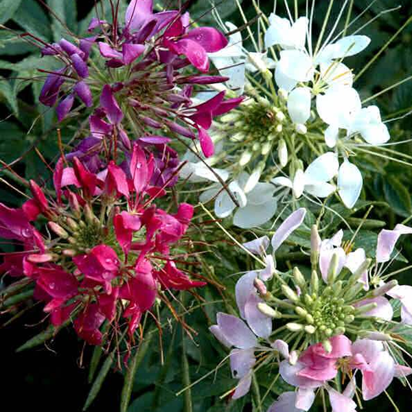 Giant Queen Mix Cleome Flower Seeds