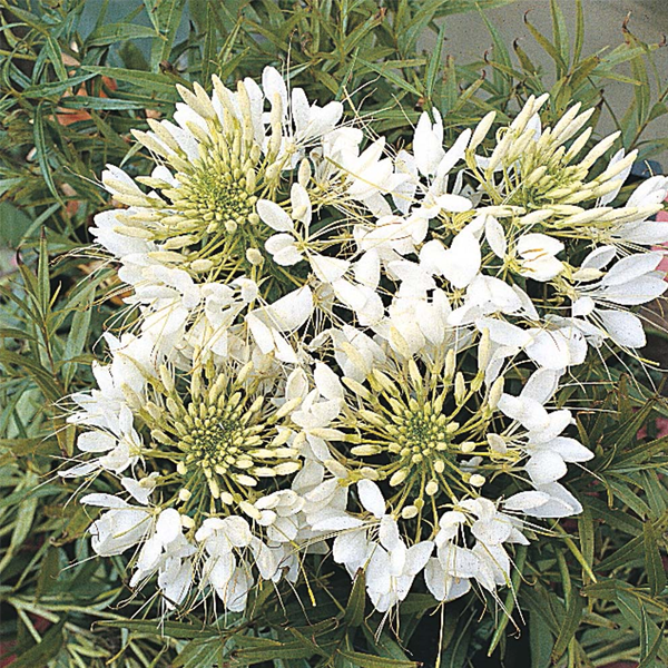 Giant White Queen Cleome Flower Seeds