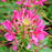 Spiny Spider Cleome Flower Seeds