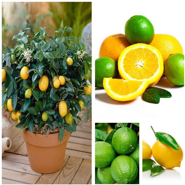 Multiple Varieties Dwarf Lemon Tree Seeds Jack Seeds
