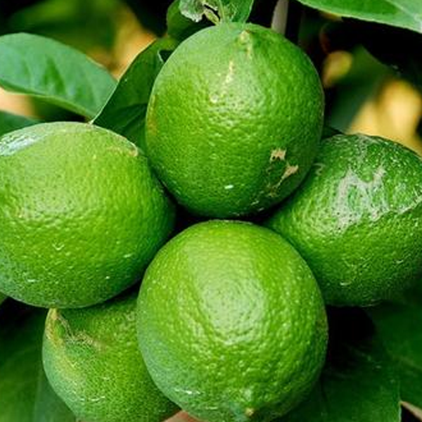 Multiple Varieties Dwarf Lemon Tree Seeds