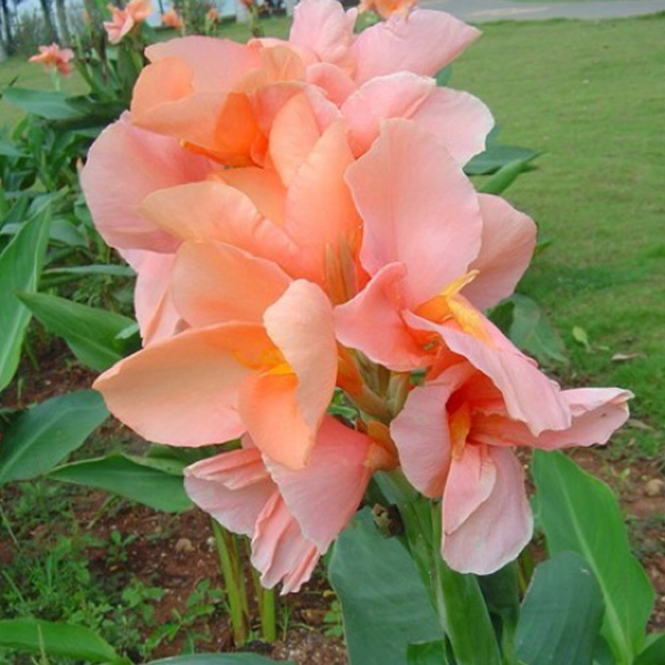 Canna Indica Flower Seeds