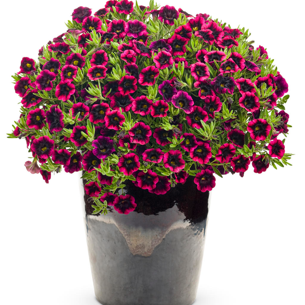 Blackberry Punch Calibrachoa Flower Seeds