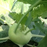 Netherlands Kohlrabi Seeds