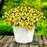 Lemon Slice Calibrachoa Petunia Flower Seeds