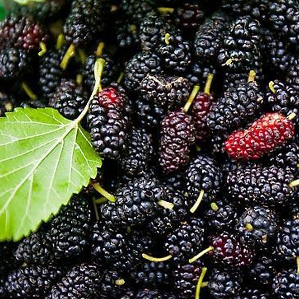 Easy Black Mulberry Seeds