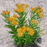 Yellow Asclepias Syriaca Flower Seeds