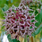 Pink Asclepias Syriaca Flower Seeds