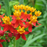 Orange Asclepias Syriaca Flower Seeds