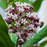 Black Asclepias Syriaca Flower Seeds
