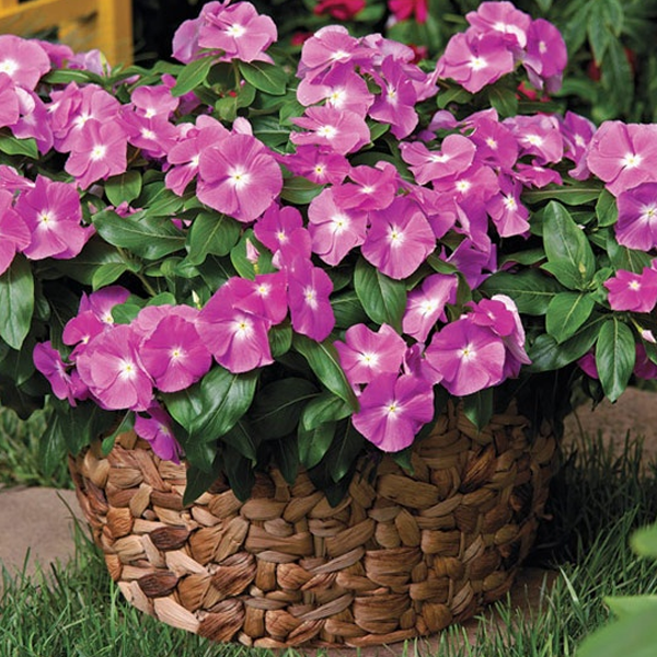 Light Purple Vinca Periwinkle Seeds