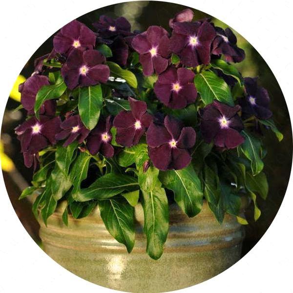 Dark Purple Vinca Periwinkle Seeds