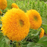 Teddy Bear Sun Flowers Seeds