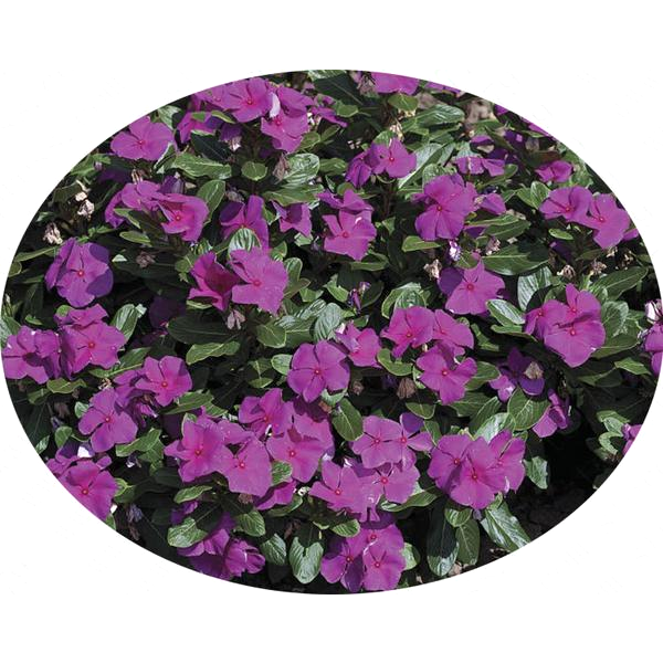 Deep Purple Vinca Periwinkle Seeds