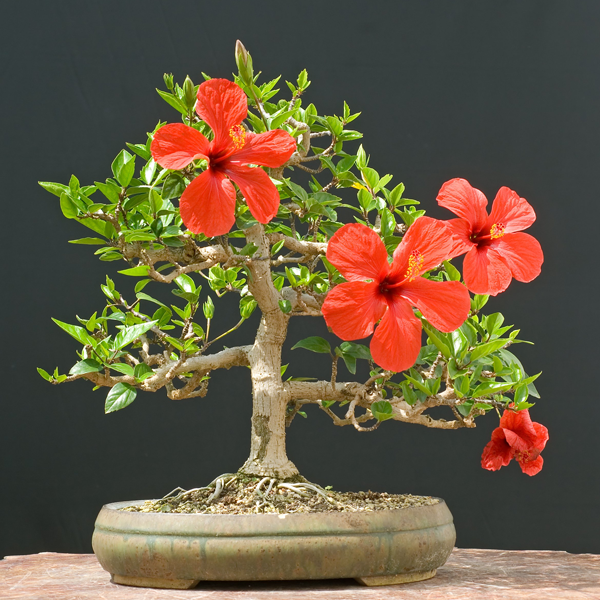Red Syriacus Hibiscus Flower Seeds