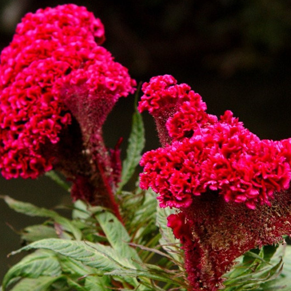 Red Cockscomb Celosia Flower Seeds