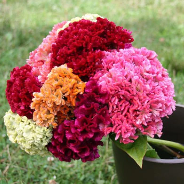 Mix Giant Cockscomb Celosia Flower Seeds
