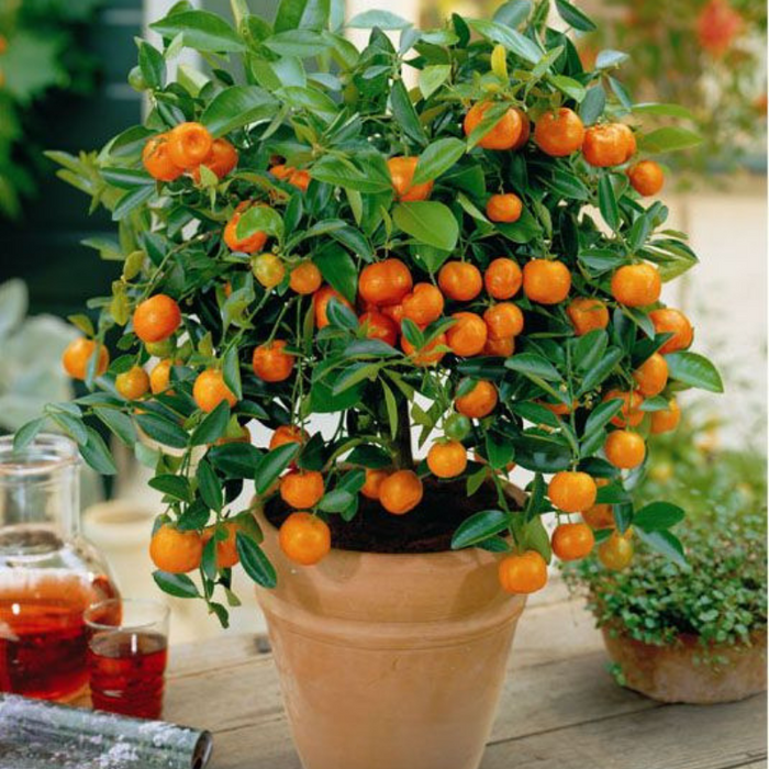 Premium Mini Orange Seeds (50 seeds in a pack)