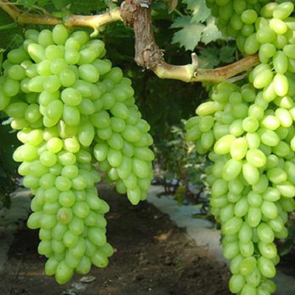 Green Grape Seeds