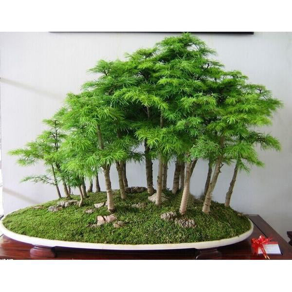 Juniper Bonsai Tree Seeds