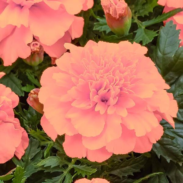10 Ways To Style Your Very Own Vegetable Garden: Pink Color French Marigold Seeds