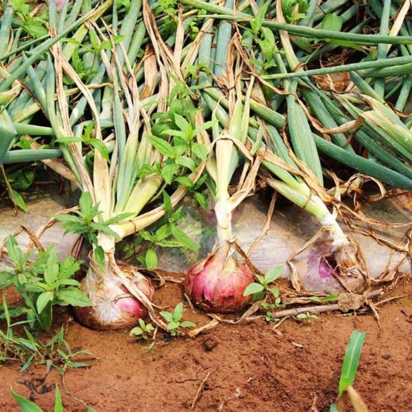 Russian Heirloom Giant Onion Seeds