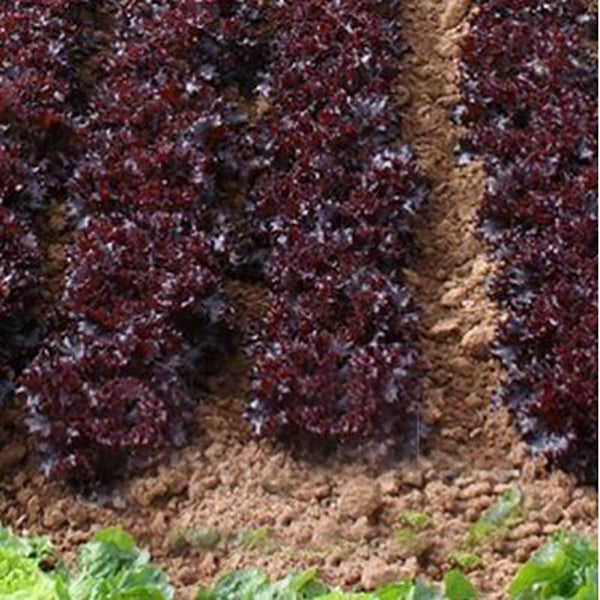 Purple Lettuce Leaf Seeds