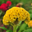 Yellow Cockscomb Celosia Flower Seeds