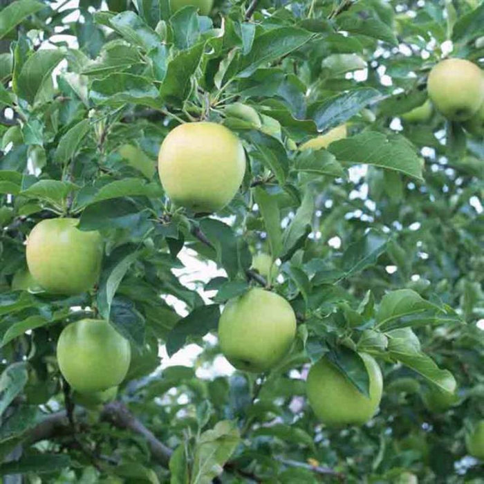 Aromatic Russet Green Apple Tree Seeds