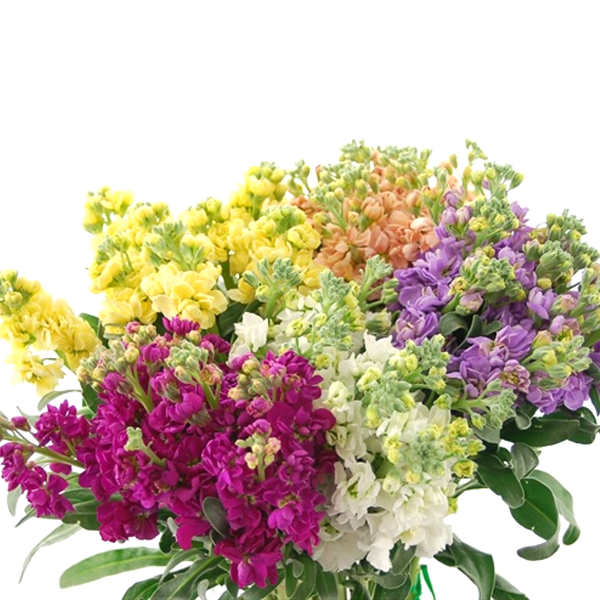 Mixed Color Matthiola incana Stock Flower Seeds