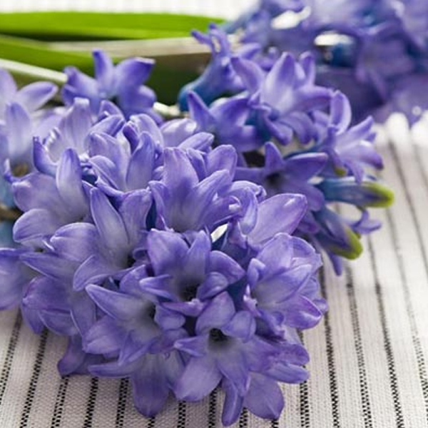 Purple Petals Hyacinth Seeds