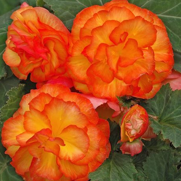 Double Begonia Flower Seeds