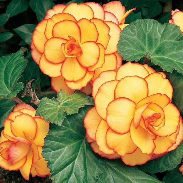 Yellow-Red Begonia Flower Seeds