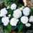 White Double Begonia Flower Seeds