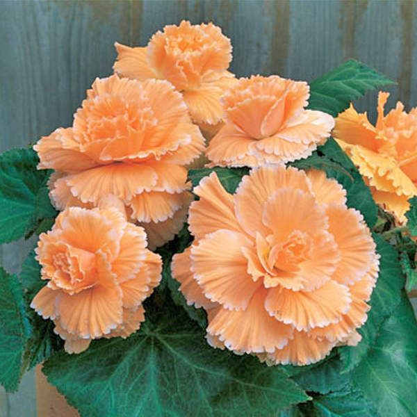 Orange Begonia Flower Seeds