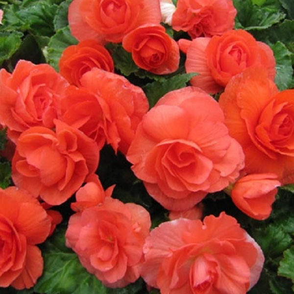 Red Double Begonia Flower Seeds