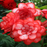 Red Begonia Flower Seeds