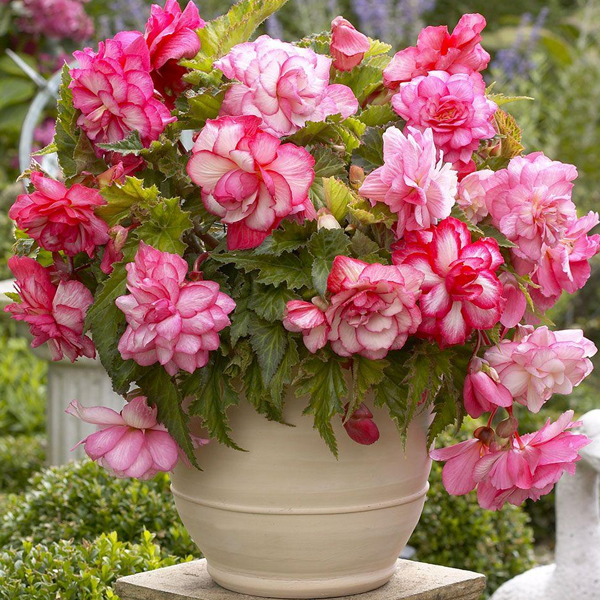 Pink Begonia Flower Seeds