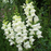 Pure White Snapdragon Flower Seeds