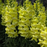 Yellow Snapdragon Flower Seeds