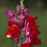Dark Red Snapdragon Flower Seeds