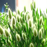 White Bunny Tails Adorable Ornamental Grass Seeds