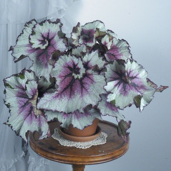 Purple-Green Coleus Flower Seeds