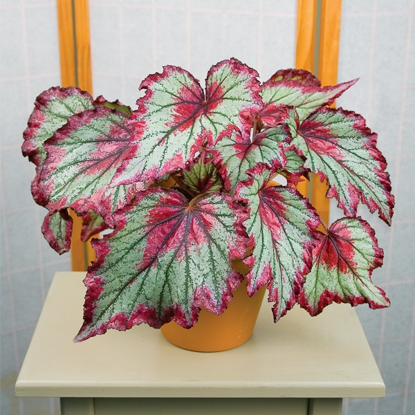 Green-Red Coleus Flower Seeds
