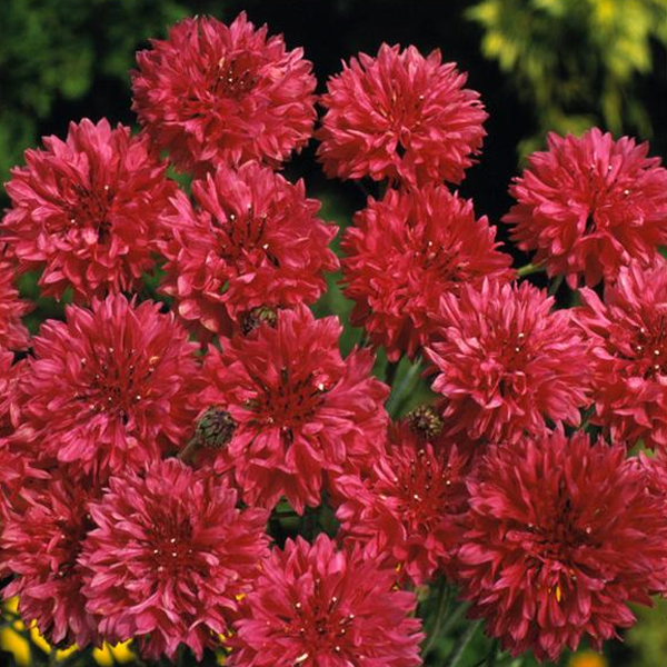 Red Centaurea Cyanus Flower Seeds