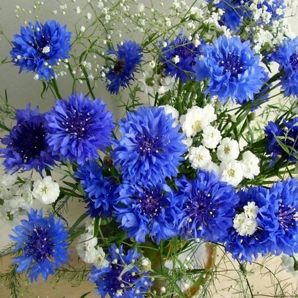 Blue-White Centaurea Cyanus Flower Seeds