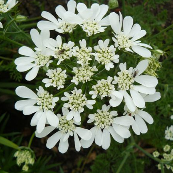 White Lace Orlaya Grandiflora Flower Seeds